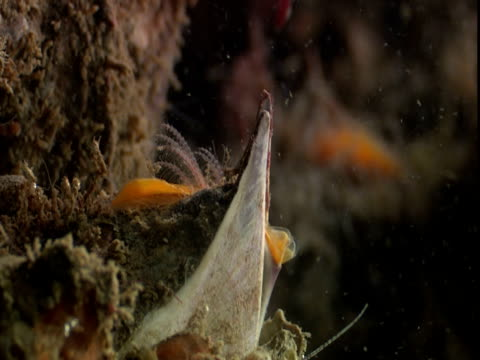 stockvideo's en b-roll-footage met barnacles feed on passing plankton. - rankpootkreeft