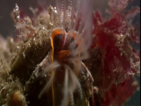 stockvideo's en b-roll-footage met barnacles feed using feathery appendages feed on passing plankton. - rankpootkreeft