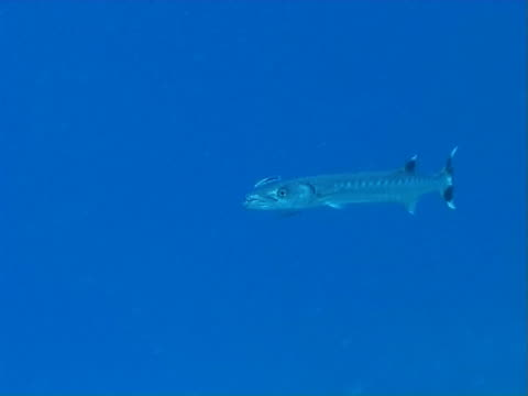 Barracuda at mid water cleaning station with wrasse