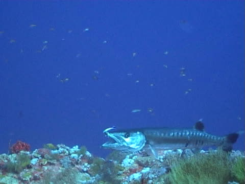 barracuda being groomed by wrasse - barracuda stock videos & royalty-free footage