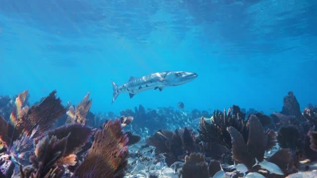 barracuda cruise - reef stock videos & royalty-free footage