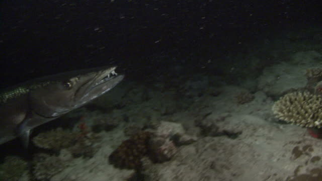 barracuda. maldives, indian ocean - barracuda stock videos & royalty-free footage