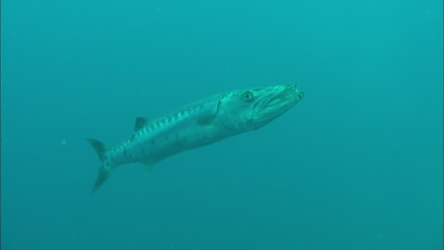 barracuda north carolina, atlantic ocean  - barracuda stock videos & royalty-free footage