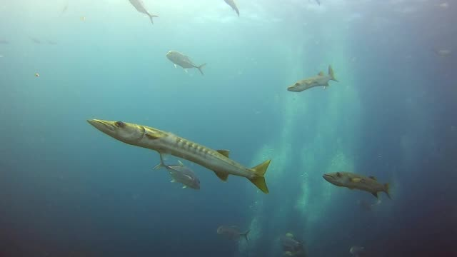 barracuda ready to attack the victim with sharp teeth - barracuda stock videos & royalty-free footage