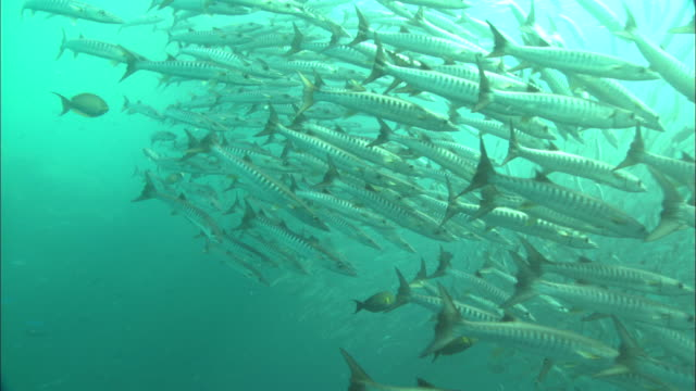 Barracuda school swirling in mid water, Borneo, Malaysia, Southeast Asia