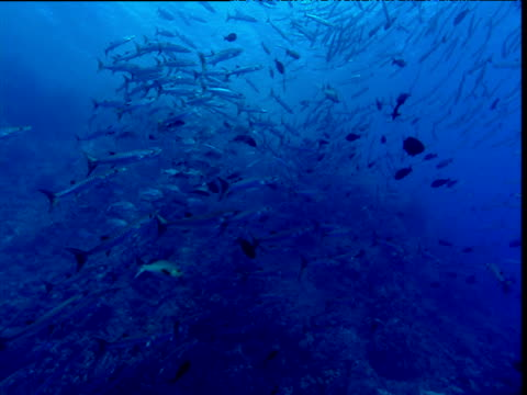barracuda shoal swims over coral reef - tierisches exoskelett stock-videos und b-roll-filmmaterial