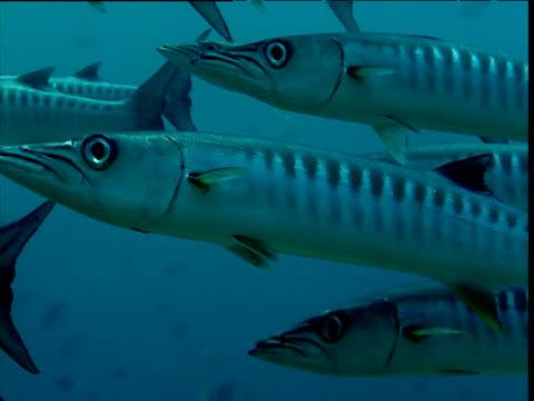 Barracuda shoal swims past camera, Maldives