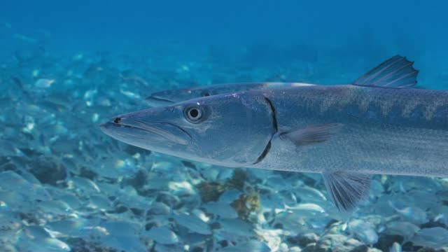 barracuda slow motion close up - barracuda stock videos & royalty-free footage
