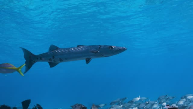 barracuda slow motion - barracuda stock videos & royalty-free footage