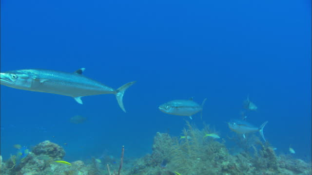 barracuda, sphyraenidae, bahamas  - barracuda stock videos & royalty-free footage
