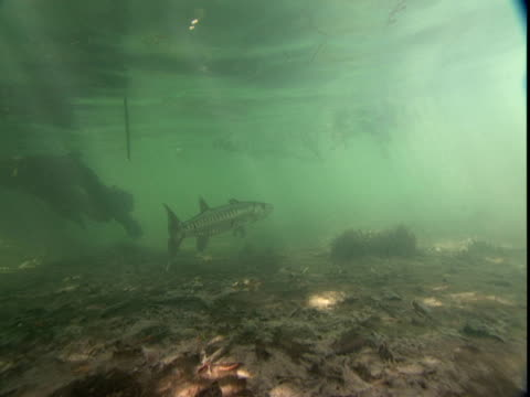 barracuda swims in shallow waters. - shallow stock videos & royalty-free footage