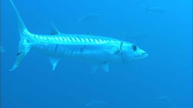 barracuda, swims open ocean, bahamas  - gruppo medio di animali video stock e b–roll