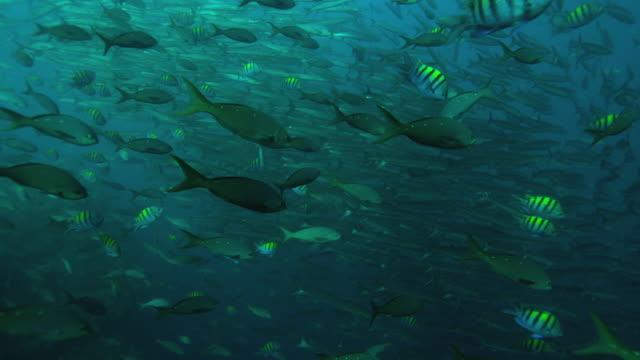 barracuda - animal markings stock videos & royalty-free footage