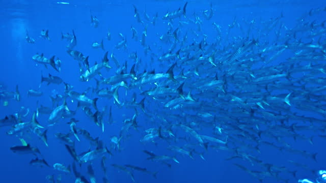barracudas in similan, phang nga, thailand - barracuda stock videos & royalty-free footage