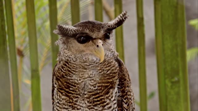 CU Barred eagle owl