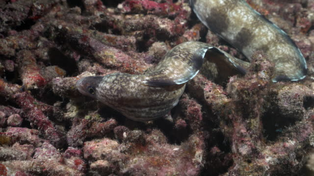 barred moray hunting on coral reef at night - moray eel stock videos & royalty-free footage