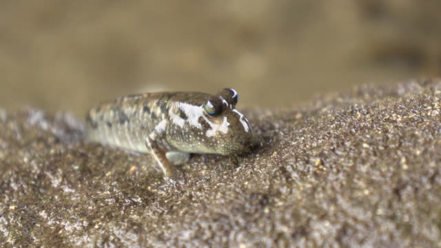 barred mudskippers in okinawa - okinawa prefecture stock videos & royalty-free footage