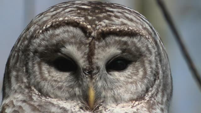 cu barred owl (strix varia) on winter range looking at camera / presqui'le provincial park on lake ontario, brighton, ontario, canada - one animal stock videos & royalty-free footage