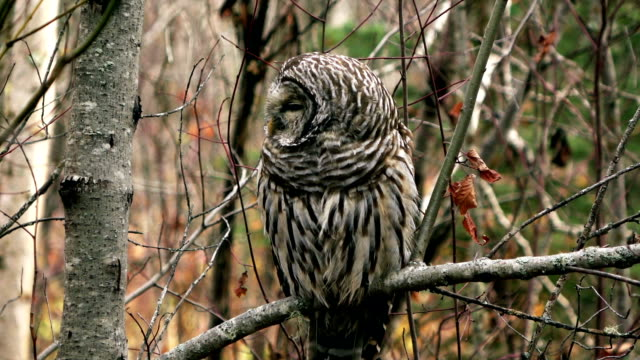 barred owl - disguise stock videos & royalty-free footage