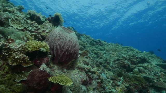 vídeos y material grabado en eventos de stock de esponja barril gigante, coral reef, isla apo, filipinas (4k - esponja