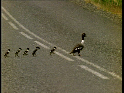 Barrow's Goldeneye duck and ducklings cross road