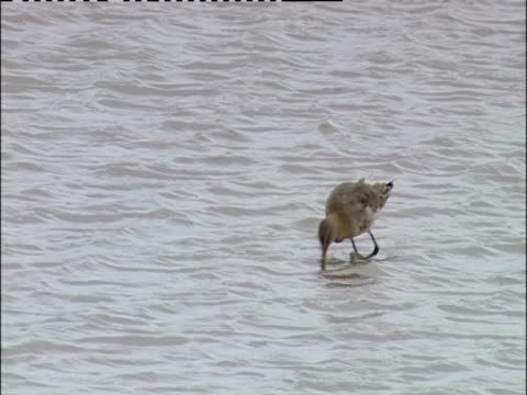 a bartailed godwit forages in a reservoir - aquatisches lebewesen stock-videos und b-roll-filmmaterial