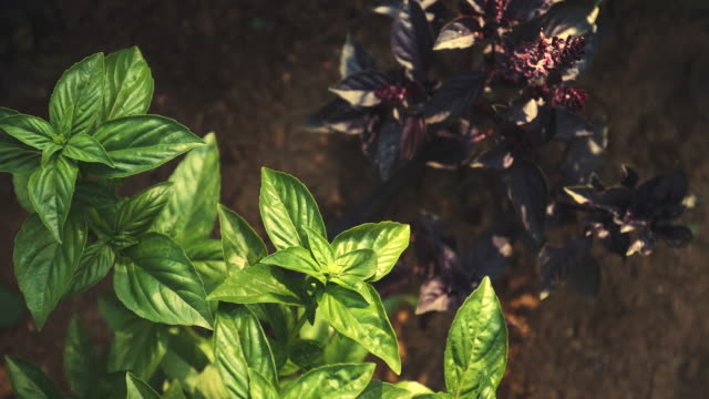 basil heaven - botany stock videos & royalty-free footage