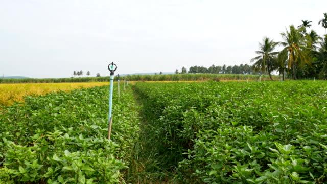 basil leaf farm organic