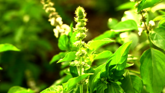 basil leaf - basil stock videos & royalty-free footage