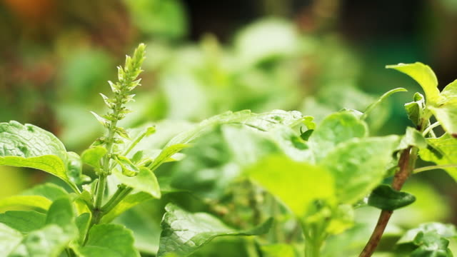 basil leaves in the vegetable garden - basil stock videos and b-roll footage