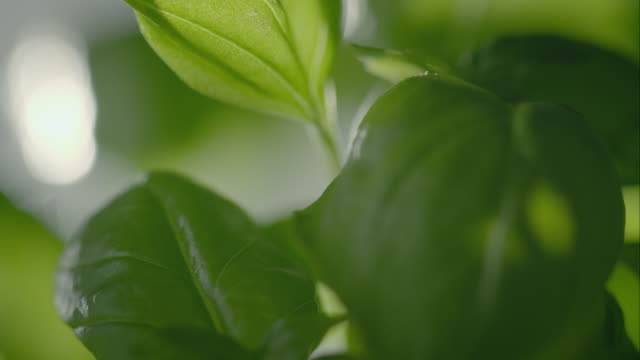 basil plant - basil stock videos and b-roll footage