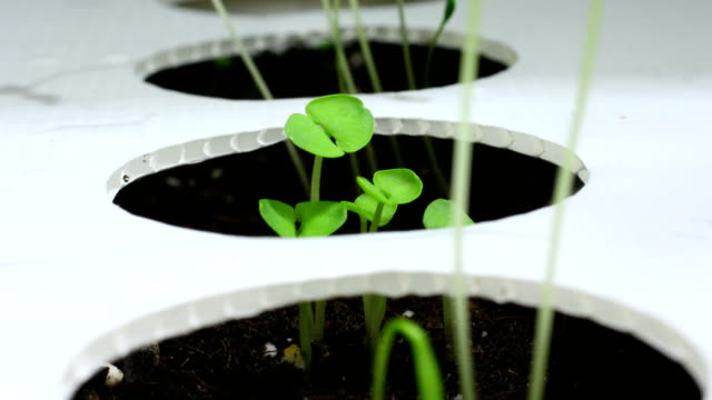 basil seeds growing in seed box time lapse - parsley stock videos and b-roll footage