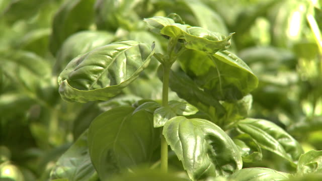basil - basil stock videos and b-roll footage