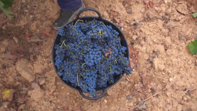 vídeos de stock e filmes b-roll de basket of bunches of grapes - uva