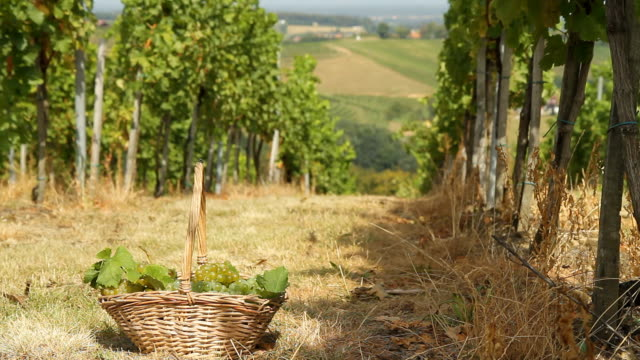 HD DOLLY: Basket Of Grapes In Vineyard