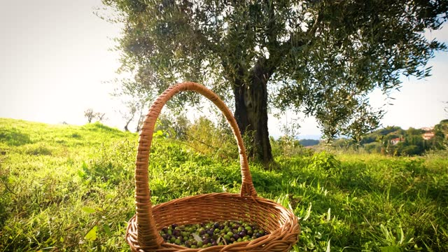 basket of just harvested olives in basket on lawn inf front of an olive tree - black olive stock videos & royalty-free footage