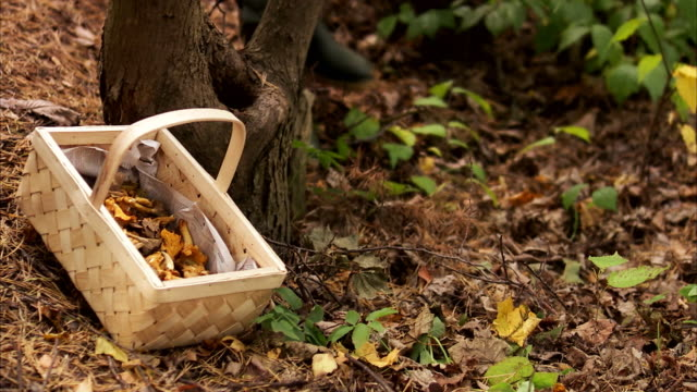 a basket of mushrooms in a forest sweden. - chanterelle stock videos & royalty-free footage