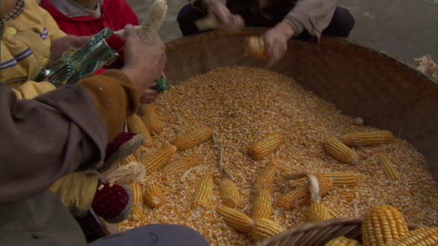 cu pan baskets with corn on the cob and large vat of kernels, senior man and woman's hands shucking corn into vat, baiman village, sichuan, china - husking stock videos & royalty-free footage