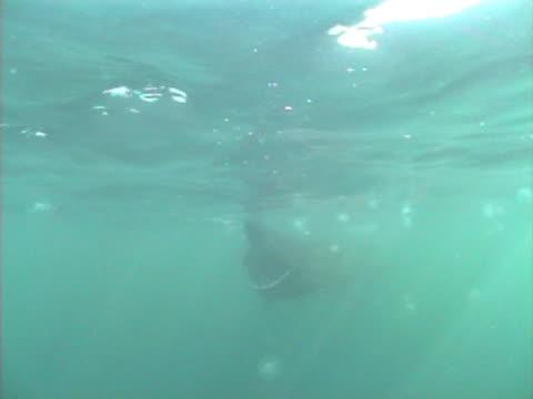 basking shark and planktonic animals that it feeds on - nordatlantik stock-videos und b-roll-filmmaterial