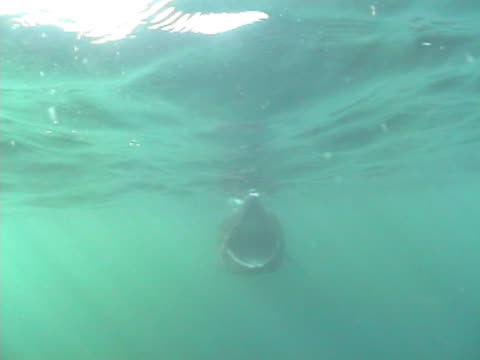 basking shark approaching camera with mouth wide open, filter feeding on plankton, and passed camera within inches undisturbed.  hebrides scotland. - isole ebridi video stock e b–roll