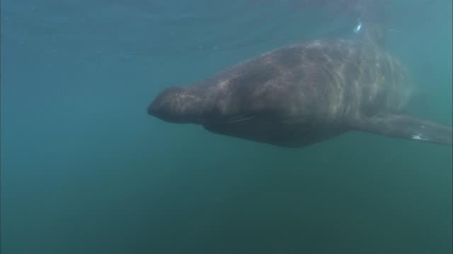 vídeos y material grabado en eventos de stock de ms - cu basking shark, cetorhinus maximus swimming - peregrino