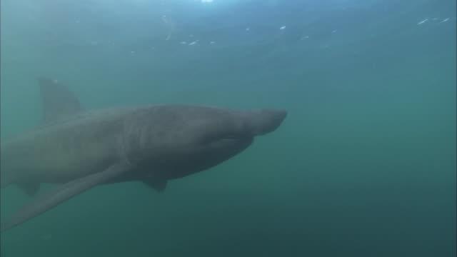 vídeos y material grabado en eventos de stock de ms - cu  basking shark, cetorhinus maximus, swims past camera - peregrino