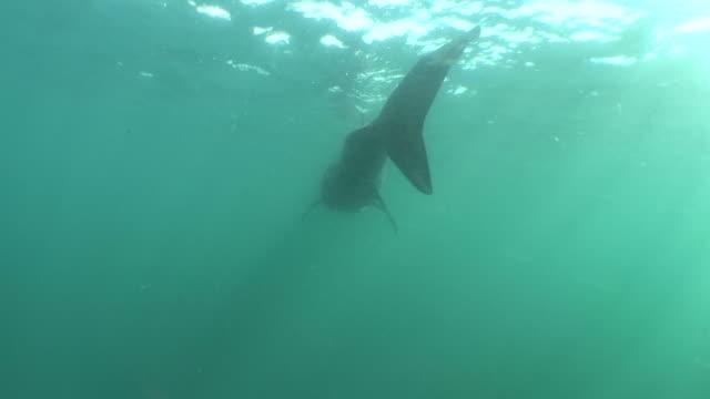 vídeos y material grabado en eventos de stock de basking shark, cetorrhinus maximus. sennen cove, cornwall, u.k. - peregrino