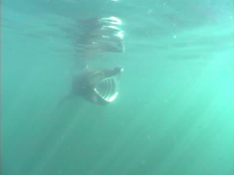 stockvideo's en b-roll-footage met basking shark feeding with mouth wide open - noord atlantische oceaan