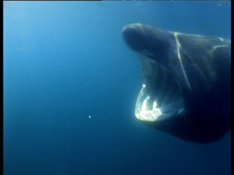 Basking shark feeds and swims past camera, Bay of Fundy