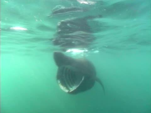 vídeos y material grabado en eventos de stock de basking shark (cetorhinus maximus) filter feeding on plankton, hebrides scotland. - peregrino