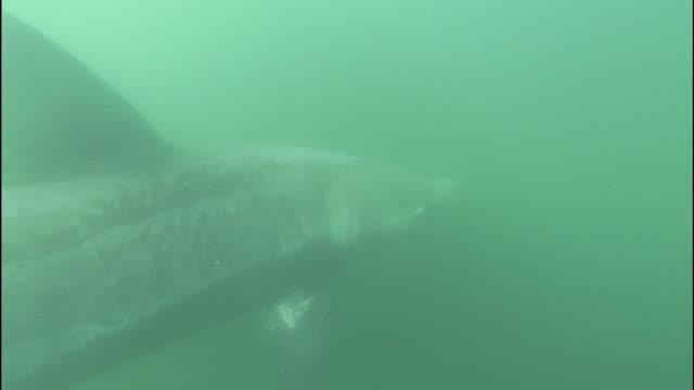 vídeos y material grabado en eventos de stock de basking shark moving past camera - peregrino