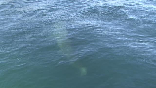 vídeos y material grabado en eventos de stock de basking shark (cetorhinus maximus) seen through water surface. uk coastal waters. north atlantic. 06/08/08 - peregrino