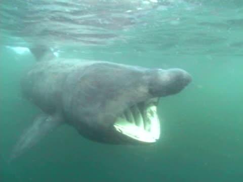 basking shark (cetorhinus maximus) swimming towards camera with mouth open, hebrides, scotland, uk - hebrides stock videos & royalty-free footage