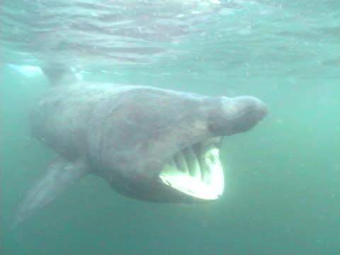 vídeos y material grabado en eventos de stock de cu basking shark swimming towards camera with mouth open, turning head pass camera. hebrides, scotland, uk - peregrino